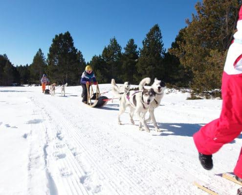 chiens de traineau pour les enfants à font romeu