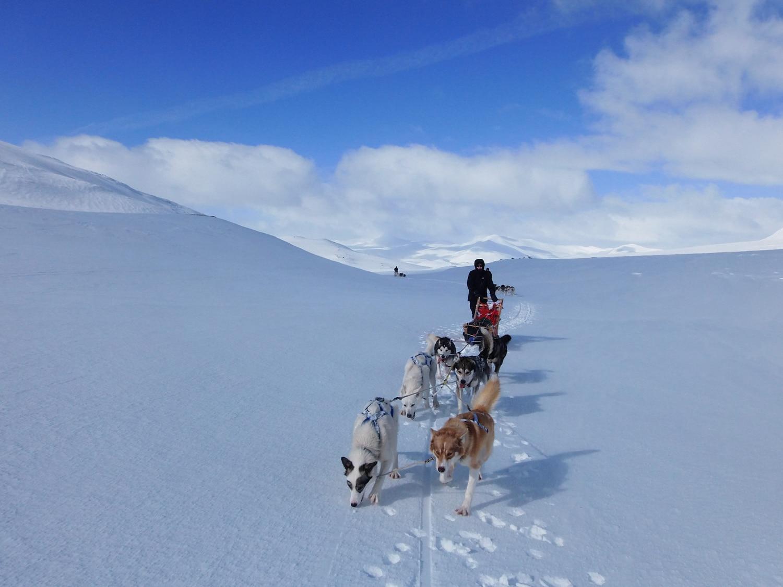 raid chiens de traineau Laponie , raid chiens de traîneau en Laponie