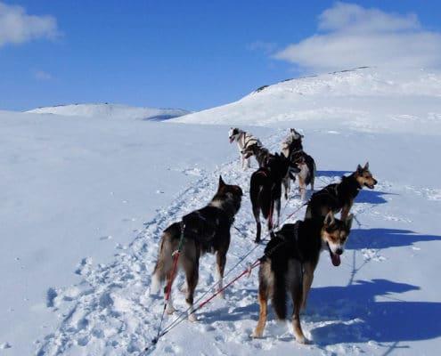 raid chiens de traineau Laponie , raid chiens de traîneau en Laponie suédoise